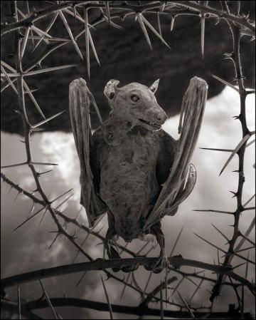 Nick Brandt, עטלף שהורעל למוות והסתייד באגם נטרון שבצפון טנזניה, 2012. Via DesignBoom