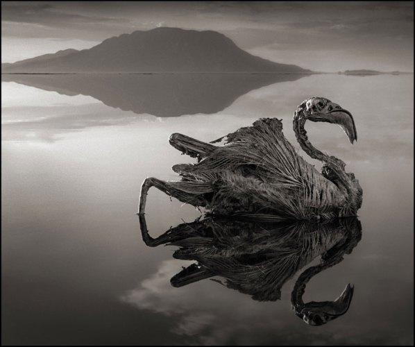 Nick Brandt, פלמינגו שהסתייד באגם נטרון שבצפון טנזניה, 2012. Via DesignBoom
