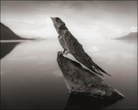 Nick Brandt, סנונית שהורעלה והסתיידה באגם המוות נטרון שבטנזניה, 2012. Via DesignBoom