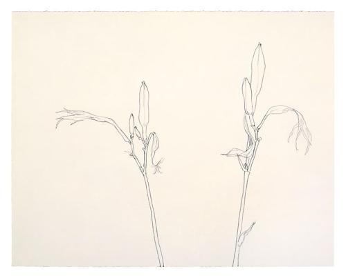 Ellsworth Kelly, שתי חבצלות, 1980. גרפית על נייר