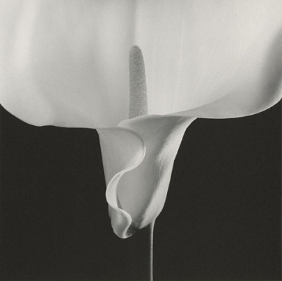 Robert Mapplethorpe, Calla Lily, 1988. The Getty Museum, LA